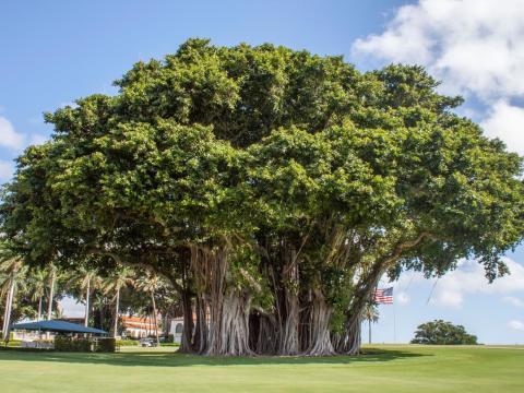 Al lado de la casa club hay un enorme árbol de banyan.