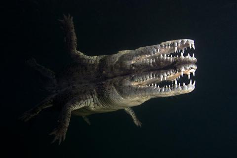 """Photographer Daniel Flormann won the """"Marine Life"""" category with this shot of a crocodile's reflection in the Gulf of Mexico, near Cuba."""