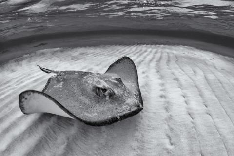 """Photographer Henley Spiers took home the top two prizes in the the """"Natural Light"""" category. This image of a southern stingray swimming in the Cayman Islands won gold."""