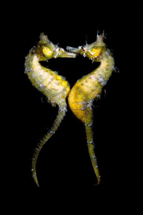 Photographer Jinggong Zhang snapped this photo of seahorses mating in Japan.