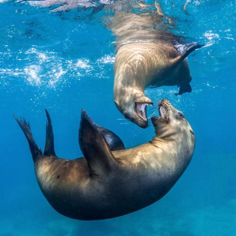 Polanszky also caught two sea lions wrestling beneath the waves in the Sea of Cortés.