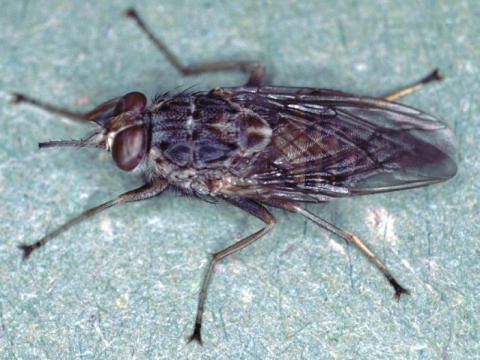 Tsetse flies spread African sleeping sickness to humans and animals.