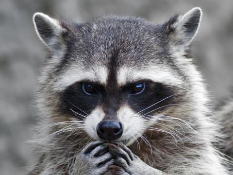 Raccoons can carry the rabies virus.