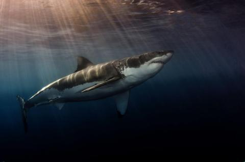 """The """"Shark"""" category is always a fan favorite. Photographer Steve Andersen took home gold with this shot of a great white swimming near Guadalupe, Mexico."""