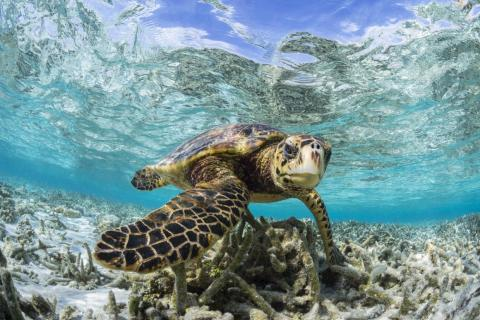 This shot of a Hawksbill turtle in a shallow lagoon off the Maldives earned Spiers the silver medal.