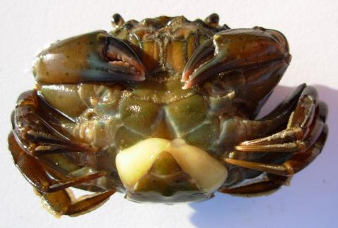 A Sacculina carcini barnacle is visible on a female shore crab's abdomen.