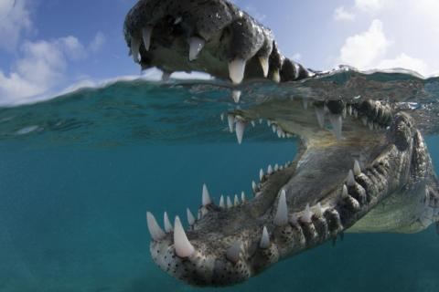 Suzan Meldonian got up close and personal with an American crocodile in Cuba.
