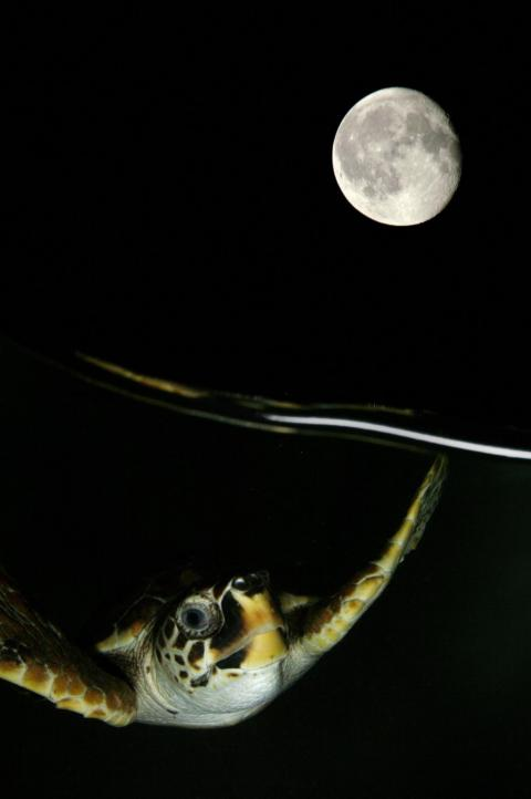 A turtle enjoys a nighttime swim in the Adriatic sea near Italy's coast in this image by Marco Caraceni.