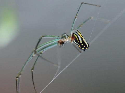 An adult female Leucauge argyra spider.