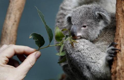 Un cuidador de zoológico ofrece hojas de eucalipto a un bebé koala llamado Boonda en Wildlife World en Sydney, el 28 de junio de 2011.