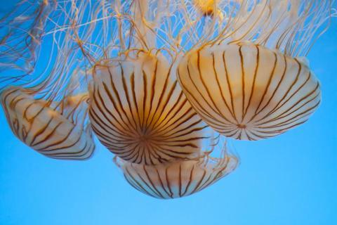 """Preestreno de la exposición """"The Jellies Experience"""" en el acuario de la bahía de Monterey, California, 30 de marzo de 2012."""