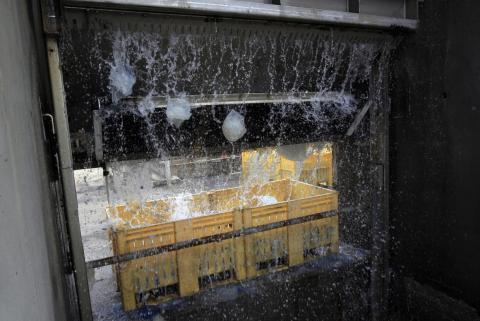 Medusas cayendo de un filtro a un contenedor en la central eléctrica de Orot Rabin en Israel, el 5 de julio de 2011. La central utiliza agua de mar para enfriar y tiene que filtrar y eliminar diariamente las toneladas de medusas que absorbe su sistema.