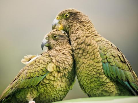 Parrot fever can be contracted from pet birds.