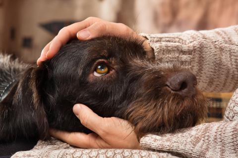 Los perros han desarrollado un músculo facial para manipular a los humanos