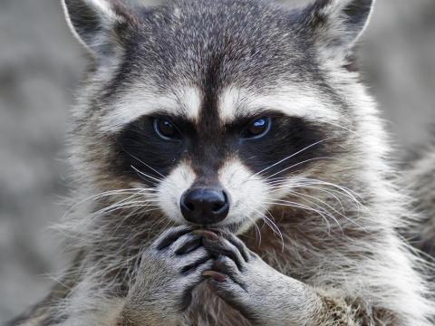 Ten cuidado con animales salvajes como los mapaches.