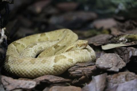 terciopelo amarillo serpiente