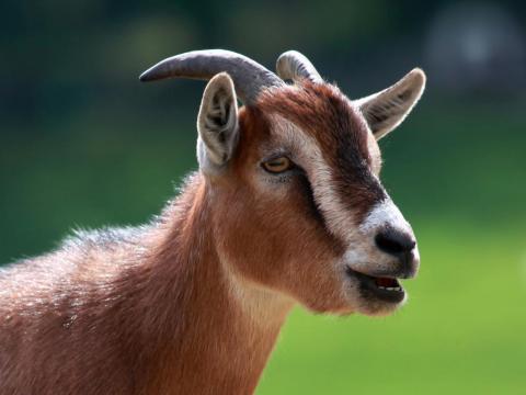 Cabras y ovejas pueden transmitir la enfermedad.