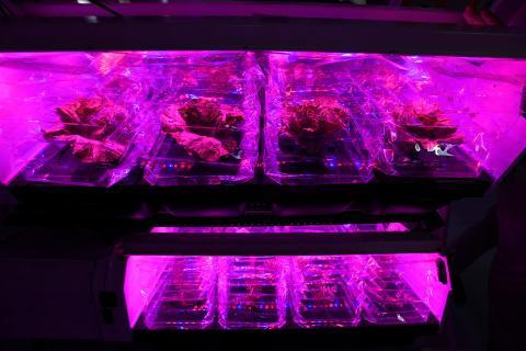 La lechuga crece bajo las luces LED rojas del espectro dentro del inflable Lunar Gateway en Louisville, Colorado.