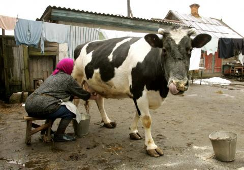 Cow's milk outside the exclusion zone was found to contain cesium-137, a radioactive isotope.