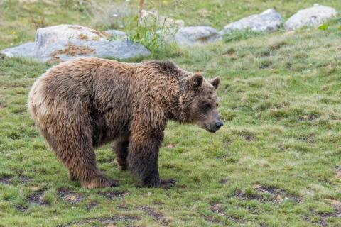 The European brown bear returned to the region after more than a century.
