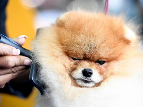 Davis the Pomeranian is groomed during the 143rd Westminster Kennel Club Dog Show.