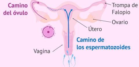 Recorrido que han de realizar los espermatozoides hasta alcanzar el óvulo. El dibujo está hecho en un solo plano, pero téngase en cuenta que el útero se dispone perpendicularmente a la vagina.