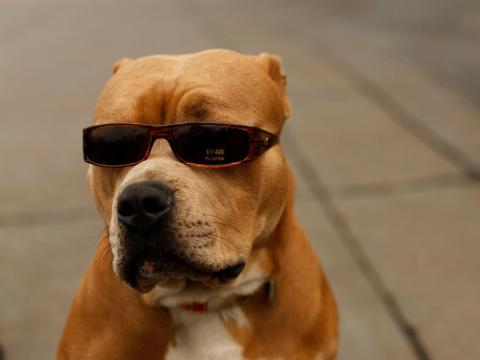 A pit bull dog named OJ wears sunglasses as he stands on the Embarcadero with his owner in San Francisco.