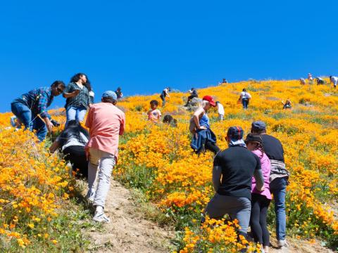 Tourists climb the hills in a nature reserve in Elsinore, California, where orange poppies bloom.