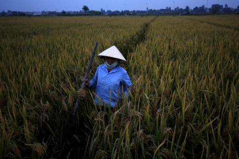 Un agricultor cosecha arroz en Thanh Hoa, Vietnam, el 14 de septiembre de 2017.