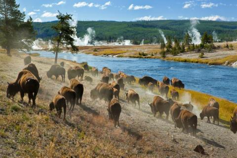 Wildlife in Yellowstone National Park is at risk of tourists who get too close to take pictures of or with wild creatures.