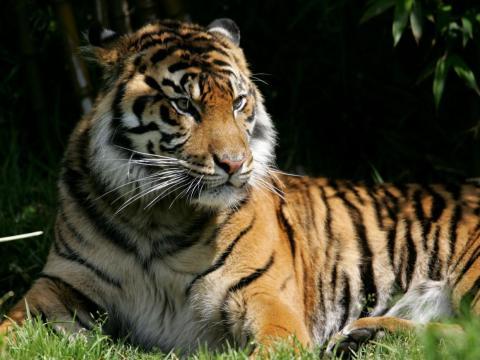 Los tigres de Bengala están en peligro de extinción. Alrededor de 2.500 permanecen en estado salvaje. Se enfrentan a las amenazas de la caza furtiva y el aumento del nivel del mar en los bosques en los que viven.