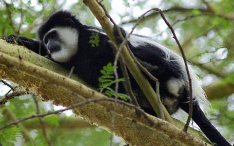 Un mono colobo blanco y negro toma una siesta en Naivasha, Kenia, el 11 de abril de 2004. En Tanzania, los monos colobos disminuyeron rápidamente entre 2004 y 2012 debido a la caza y la degradación del hábitat.