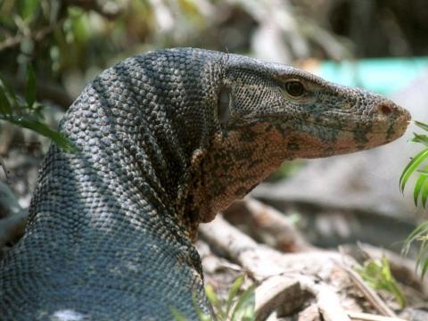 Un lagarto gigante en peligro de extinción sale de su escondite en Bangladesh, el 21 de mayo de 2000.