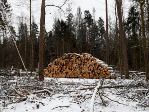 Árboles talados en uno de los últimos bosques primitivos de Europa, el bosque de Bialowieza en Polonia.
