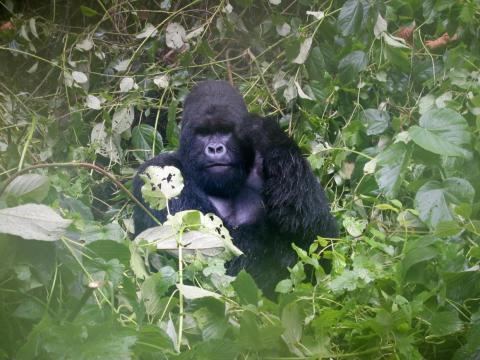 Un gorila de montaña en el Parque Nacional de Virunga, situado en la República Democrática del Congo, el 4 de abril de 2014.