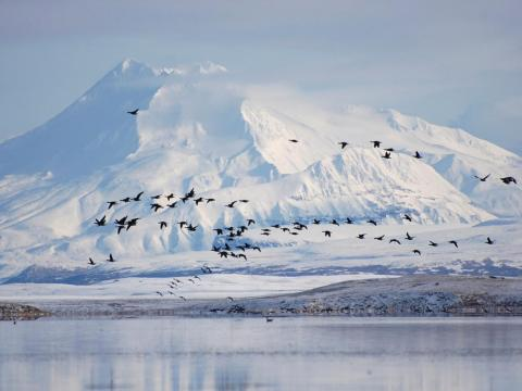 Pacific black brant fly past Mount Dutton in the Izembek National Wildlife Refuge in Alaska's Aleutian Islands. November 7, 2008.