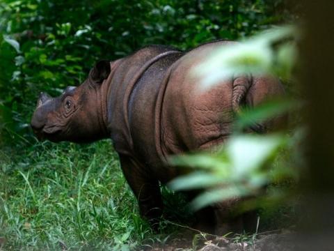 Ratu, uña rinoceronte de 8 años, en el Santuario del Rinoceronte de Sumatra en el Parque Nacional Way Kambas el 20 de mayo de 2010. Los rinocerontes de Sumatra recorrían los bosques del Sudeste asiático, pero hoy en día solo quedan 80.