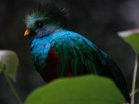 Un resplandeciente quetzal en El Nido, parque pecuario en Ixtapaluca, a las afueras de Mexico City, el 7 de julio de 2011. Muchas especies de quetzal están en peligro.
