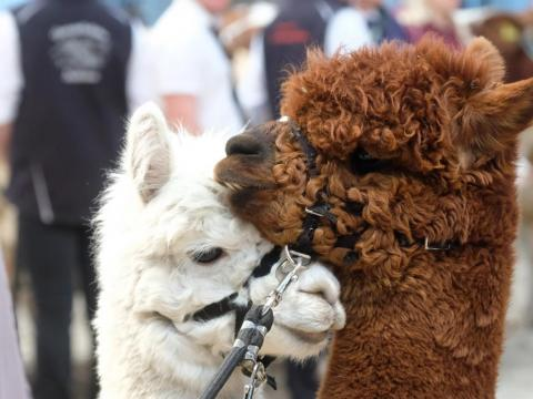 There were two species of alpacas at the parade (not pictured): Huacaya and Suri, according to Guinness World Records.
