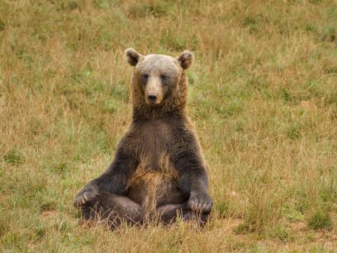Este oso también es un aficionado al yoga y a la meditación.