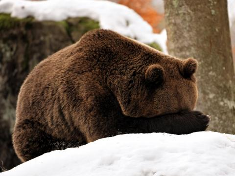 Este oso no quiere mirar lo que está pasando ahora mismo.