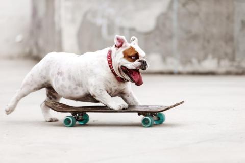 ... mientras que esté perro se prepara para ser un gran skater.
