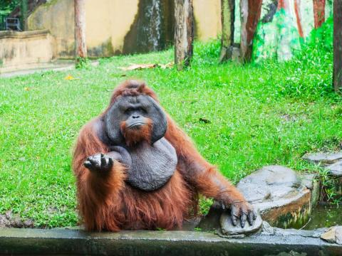 ... and this orangutan doesn't seem to know what's up.