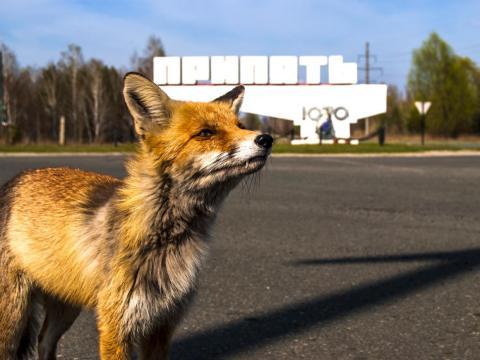"""Un zorro salvaje delante del cartel que indica """"Pripyat"""" en ruso."""
