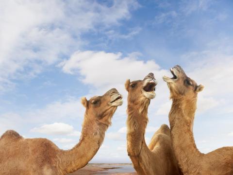 Estos camellos están formando un grupo musical a cappella.
