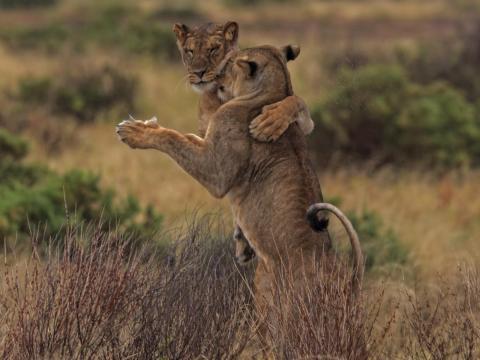 ... estos leones están practicando una coreografía.