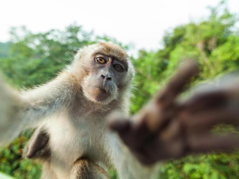 ¿Qué pasa que solo pueden hacerse selfies los humanos? Este mono demuestra que él también es capaz.