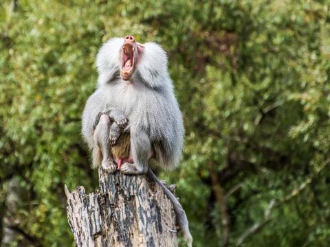 Este babuino también ha tenido un largo día.