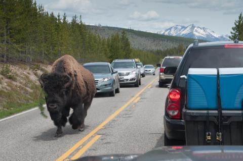 Este bisonte no tiene problemas para caminar en cualquier lugar...