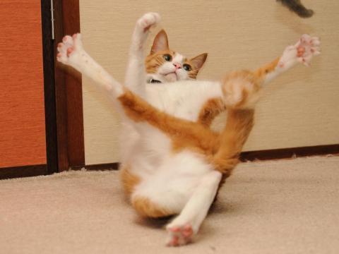 Este gato parece que está practicando para jugar al Twister...
